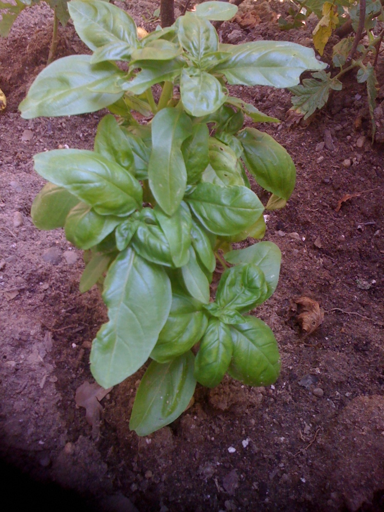 Are Pests Destroying Your Basil Plant?