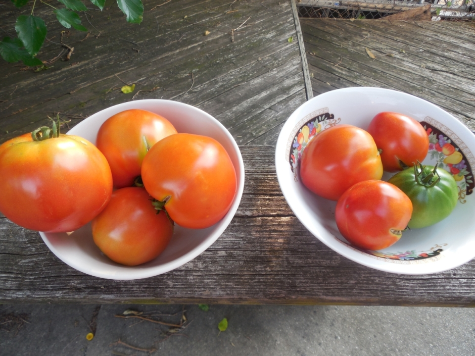 Tomato Harvest From Urban Garden